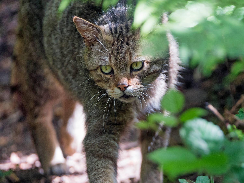 Wildkatze Nationalpark Kellerwald Edersee 1500x1125 1 - AGB